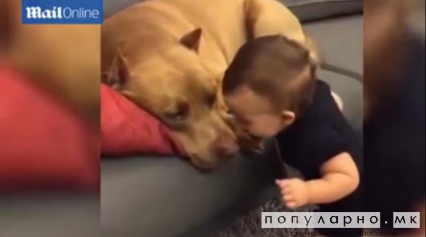 Видео кое го обиколи светот: Малечко бебе бакнува голем питбул