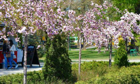 СКОПЈЕ ВО ПРОЛЕТ: Расцутеа јапонските цреши (ФОТОГАЛЕРИЈА)