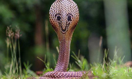"""Ова е """"највеселата"""" кобра во светот"""